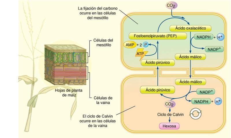 pictures free: fotosintesis de las plantas