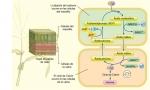 Vía para la fijación del carbono en las plantas C4