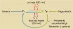 Los fitocromos Pr y Pfr